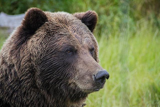 grizzlybearanimalmammal